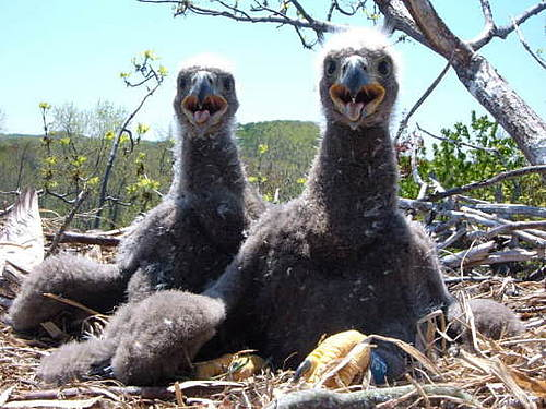 Eagle Chicks