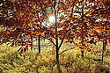 Red Oak trees in fall