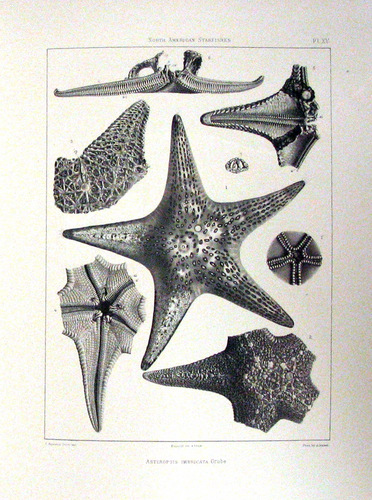 North American Starfishes