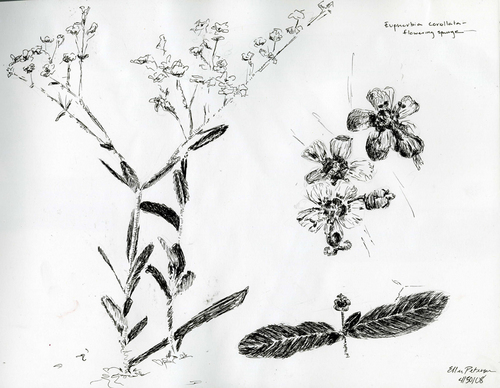Euphorbia Plants And Flowers Ltd Flowering Spurge Euphorbia