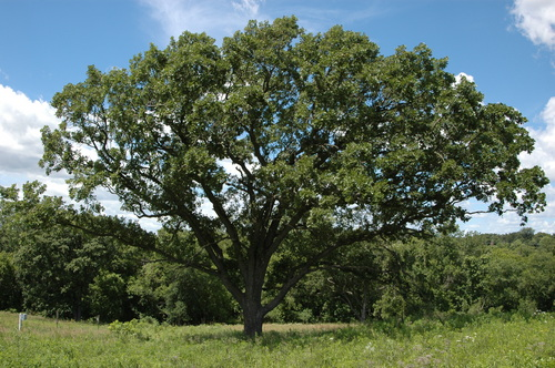 Burr Oak on Hillside Prairie