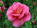 Christopher Marlowe Rose 2