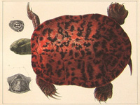 Turtle for Agassiz exhibit link