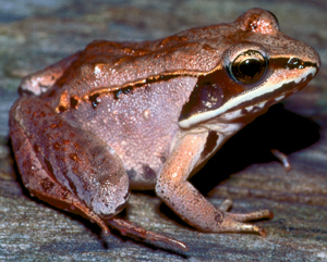 wood frog - Mich dept. of natural resources.jpg
