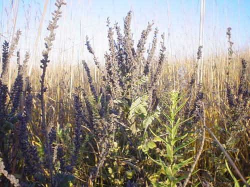 Amorpha canescens (leadplant)on McKnight Prairie
