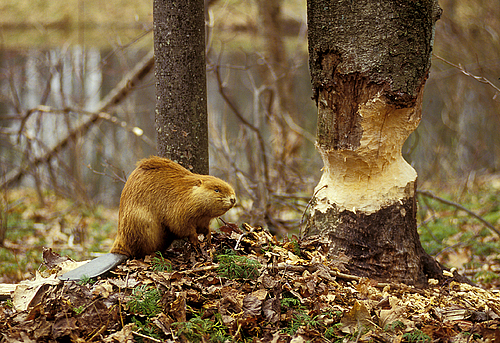 Beaver with Big Tree