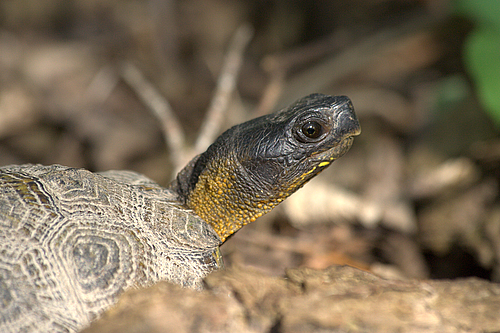 Close-up Wood Turtle