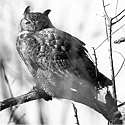 The Great Horned Owl