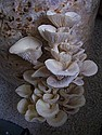 Oyster mushrooms on pasteurized straw