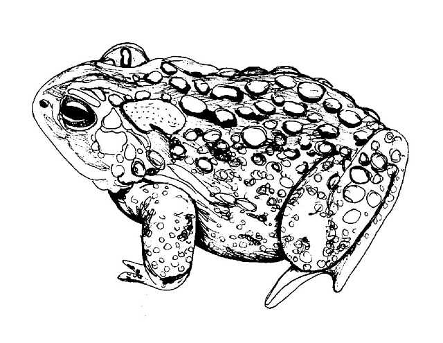 American Toad Drawing