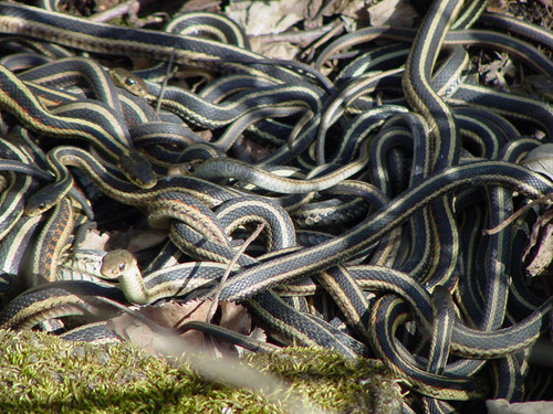 Eastern garter snakes, Thamnophis sirtalis sirtalis, found in the arboretum