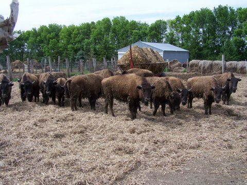 Big Woods Bison Farm |...