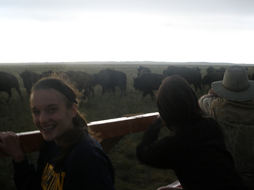 Bison at ranch