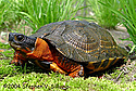 wood turtles