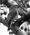 Cedar waxwings can be seen in the arb or around campus; sometimes they get drunk on overripe fruit.