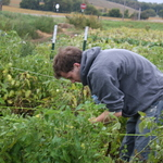 Gleaning, Fall 2010