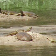 Spiny Softshell Turtles bask in the sun along the Cannon River. Photo by Richard McCarthy