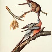 Drawing of a Passenger Pigeon couple by Audobon