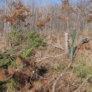 Invasive Pine trees being removed for prairie restoration
