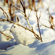 Snowshoe Hare in its Winter Coloration