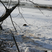 A muskrat on ice in the arb.