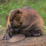 A sad beaver on a riverbank.