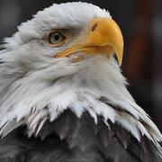 Bald Eagles may commonly be seen soaring over the Arboretum near the Cannon River.