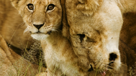 Lion cub with it's mother.