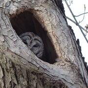 Barred Owl on its nest