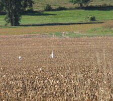 Whooping Cranes across from McKnight Prairie