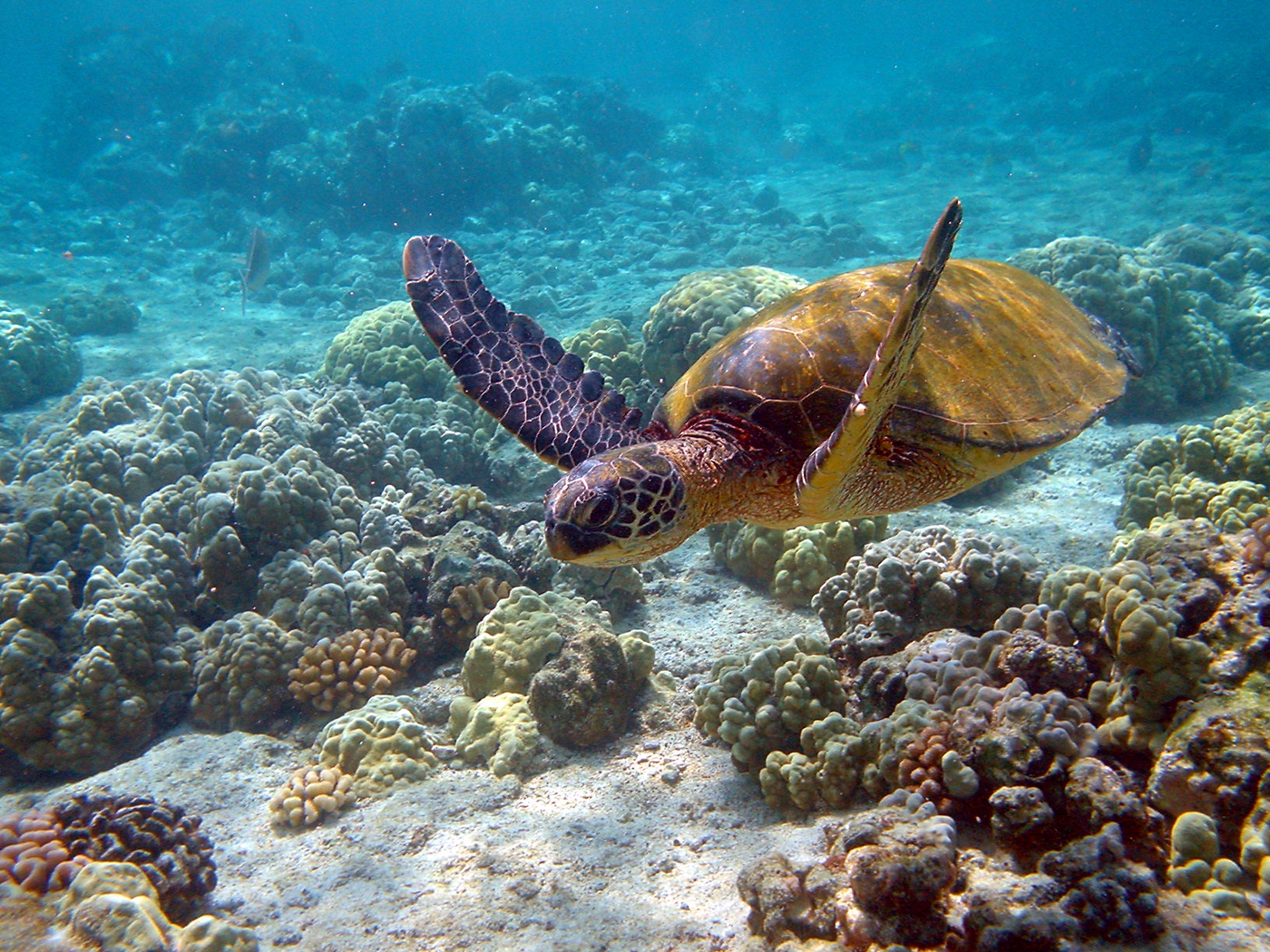 Green turtle, Hawaii.