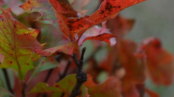 Young Oak in Fall Colors