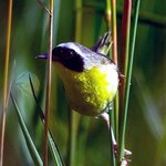 The Common Yellowthroat is often seen in the prairies of the Lower Arboretum