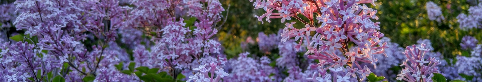 Lilacs in the sunset