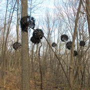 The Buckthorn Menace
