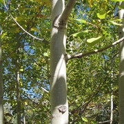 Trembling Aspen Trunk