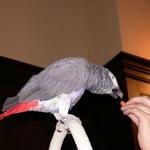 Jambo the parrot