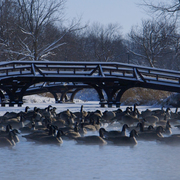 Geese on Lyman Lakes on a wintry day.