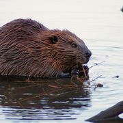 A beaver chews some roughage.