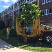 Trees along the west side of Myers hall were relocated to various spots around campus.
