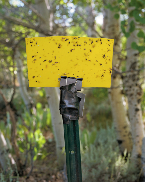 A sticky insect trap at a research site in Summers Canyon