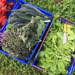 Gleaning vegetables at Seeds Farm for Thursday's Table, Fall 2015