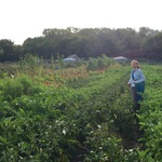 Kate Richardson '19 harvesting eggplant at Seeds Farm, Fall 2015