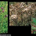 Identification of Canadian Thistle. The middle picture shows tufted-out canadian thistle seeds in the middle of dispersal.