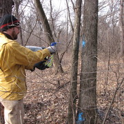 Marking trees for removal in the Cowling Arboretum