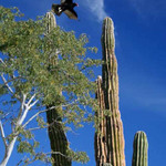 Vulture and Cactus