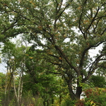 Oaks in the Arb