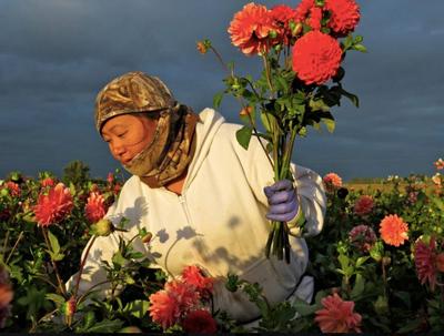A worker picks flowers in a field