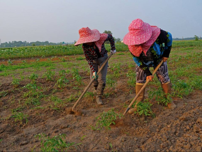 Workers use hoes to clear weeds from a tomato patch