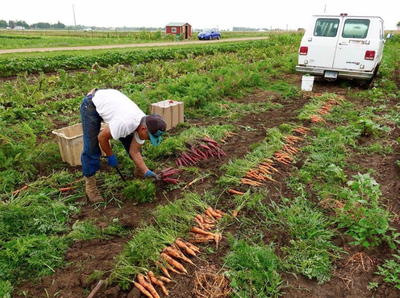 A worker gathers bunches of carrots